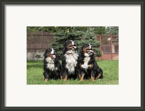 Three Bernese Mountain Dog Portrait Framed Print By Waldek Dabrowski