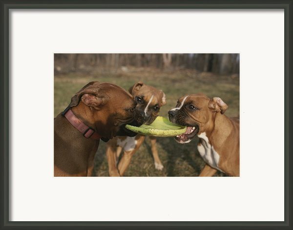 Three Boxer Dogs Play Tug-of-war Framed Print By Roy Gumpel
