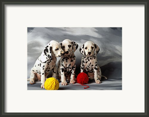 Three Dalmatian Puppies  Framed Print By Garry Gay