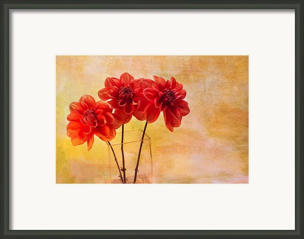 Three Orange Dahlias Framed Print By Rebecca Cozart