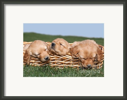 Three Sleeping Puppy Dogs In Basket Framed Print By Cindy Singleton