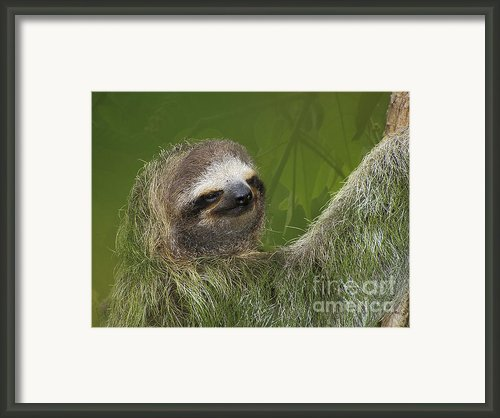 Three-toed Sloth Framed Print By Heiko Koehrer-wagner