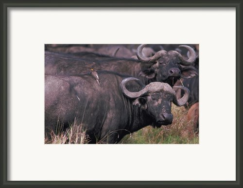 Tick Bird On Cape Buffalo Framed Print By Carl Purcell