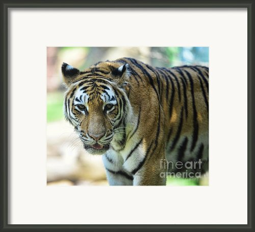 Tiger - Endangered - Wildlife Rescue Framed Print By Paul Ward