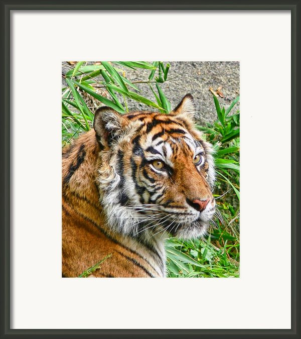 Tiger Portrait Framed Print By Jennie Marie Schell