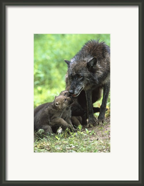 Timber Wolf Canis Lupus Mother Framed Print By Konrad Wothe