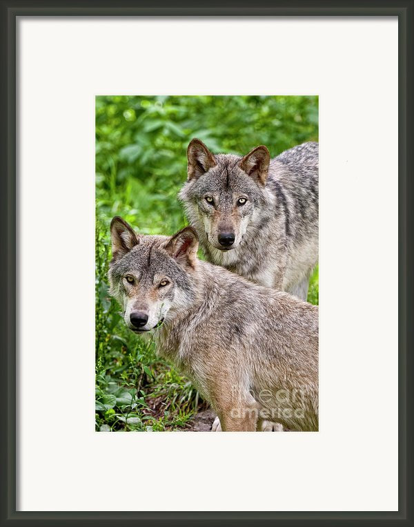 Timber Wolf Pair Framed Print By Michael Cummings