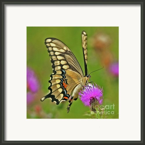 Titan On Wings... Framed Print By Nina Stavlund