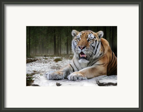 Tj  Framed Print By Big Cat Rescue