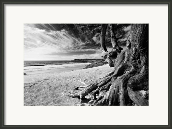 Tree Roots Carmel Beach Framed Print By George Oze