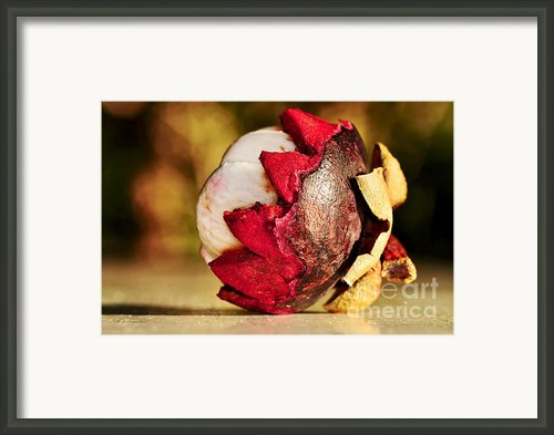 Tropical Mangosteen - Ready To Eat Framed Print By Kaye Menner