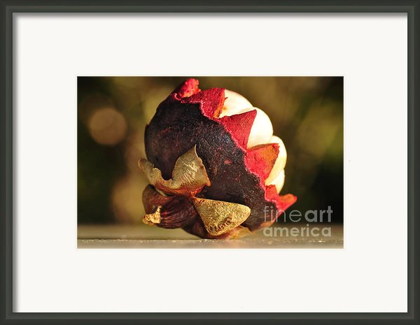 Tropical Mangosteen - The Medicinal Fruit Framed Print By Kaye Menner