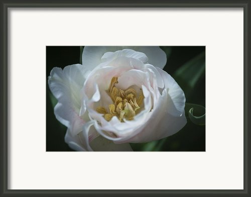 Tulip Blush Framed Print By Teresa Mucha