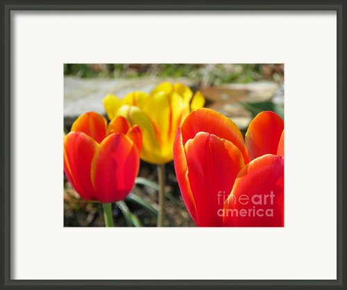 Tulip Celebration Framed Print By Karen Wiles