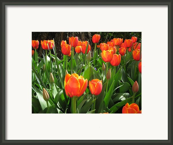 Tulip Time Framed Print By Margaret Hodgson