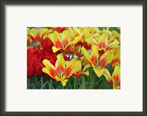 Tulips Glorious Tulip Monsella Framed Print By Debra  Miller