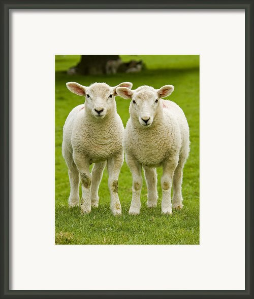 Twin Lambs Framed Print By Meirion Matthias