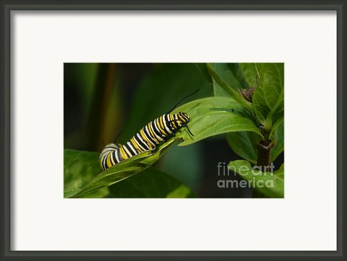 Two Caterpillars Framed Print By Steve Augustin