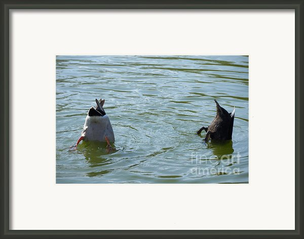 Two Ducks Diving Framed Print By Matthias Hauser