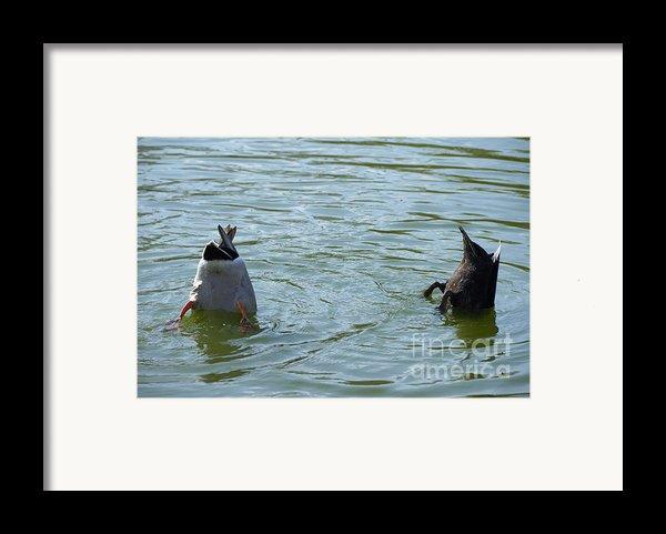 Two Ducks Diving Framed Print By Matthias Hauser