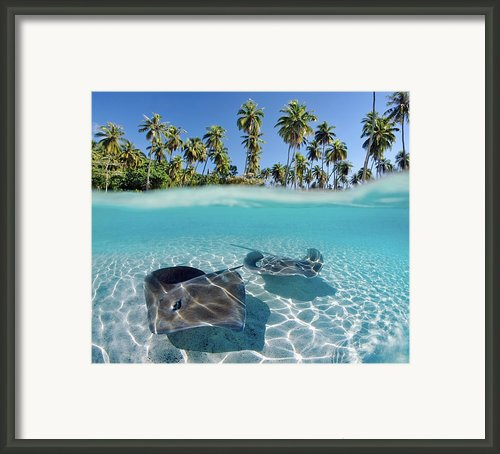 Two Stingrays 1 Framed Print By Monica & Michael Sweet - Printscapes