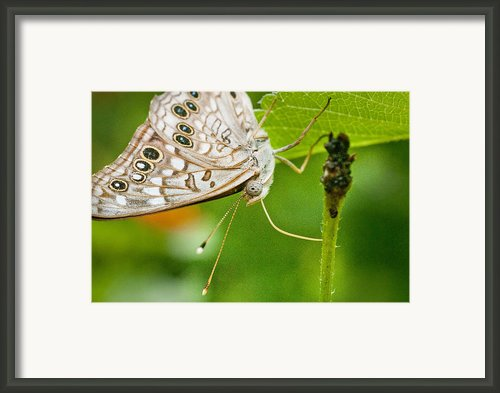 Upclose Moth_1 Framed Print By Lisa  Spencer