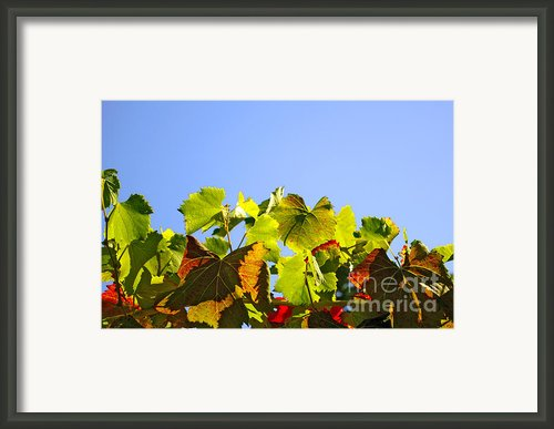 Vineyard Leaves Framed Print By Carlos Caetano