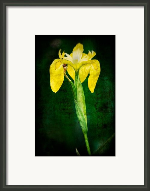 Vintage Canna Lily Framed Print By Rich Leighton