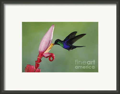 Violet-crowned Woodnymph Framed Print By Juan Carlos Vindas