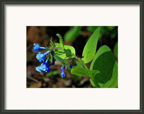 Virginia Bluebells Framed Print By Teresa Mucha