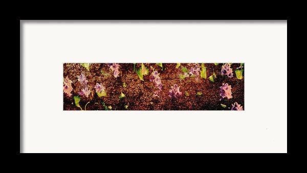 Water Flowers Vietnam Framed Print By Skip Nall