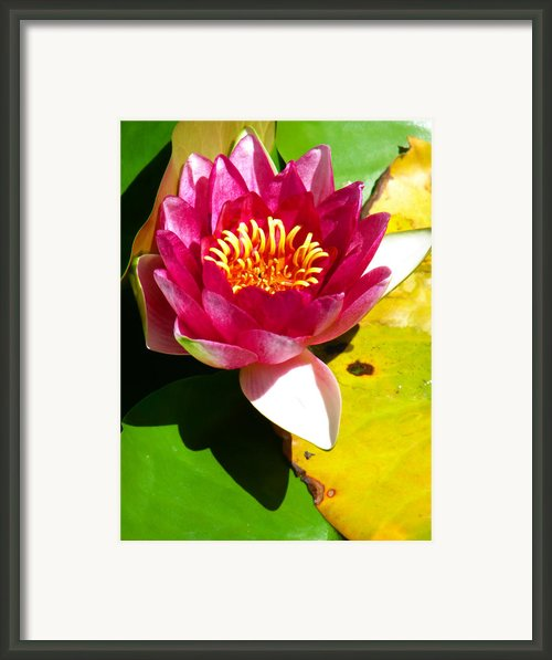 Water Lily Fc 2 Framed Print By Diana Douglass