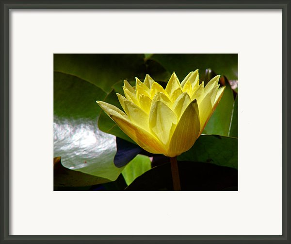 Water Lily Fc  Framed Print By Diana Douglass
