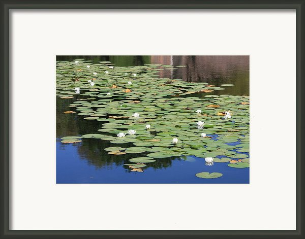 Water Lily Pond Framed Print By Carol Groenen