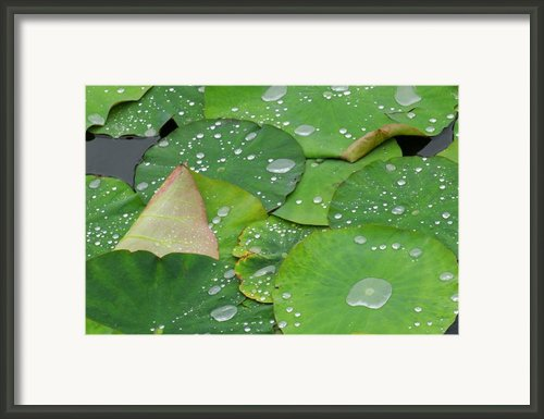 Waterdrops On Lotus Leaves Framed Print By Silke Magino