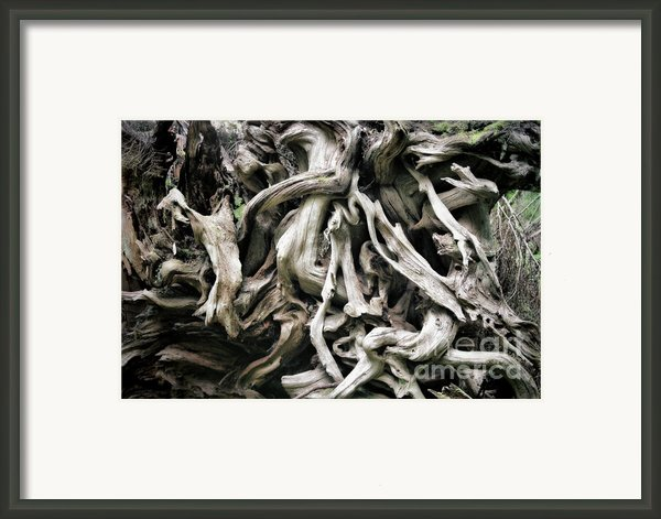 Weathered Roots - Sitka Spruce Tree Hoh Rain Forest Olympic National Park Wa Framed Print By Christine Till