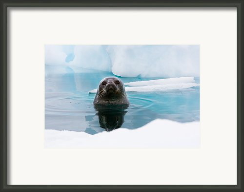 Weddell Seal Looking Up Out Of The Water, Antarctica Framed Print By Mint Images/ Art Wolfe