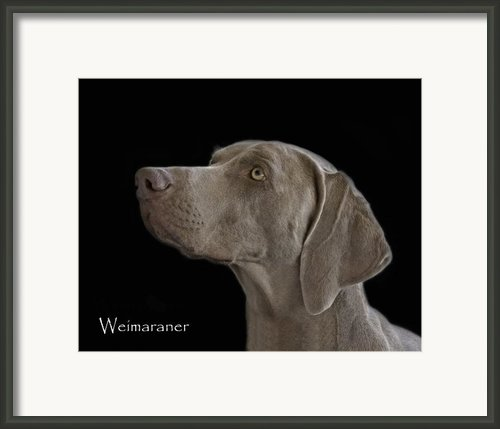 Weimaraner Framed Print By Larry Linton