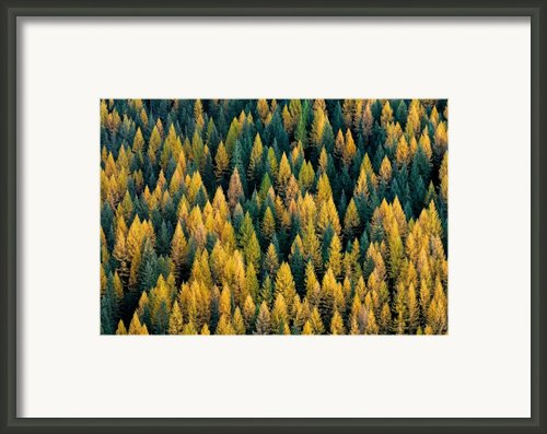 Western Larch Forest Framed Print By Leland Howard