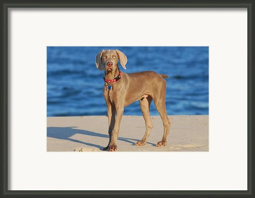 What - Weimaraner Puppy Framed Print By Angie Mckenzie