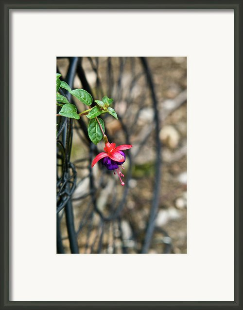 Wheel And Fushia Blossom Framed Print By Douglas Barnett
