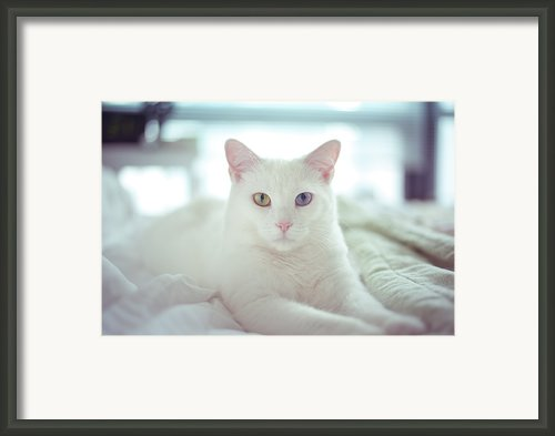 White Cat Laying On Comfy Bed Framed Print By By Dornveek Markkstyrn