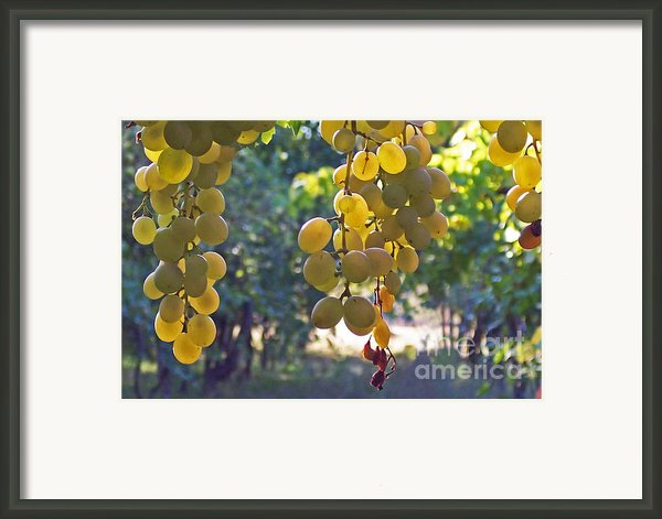 White Grapes Framed Print By Barbara Mcmahon