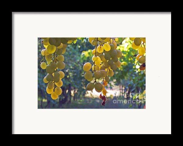 White Grapes Framed Print By Barbara Mcmahon