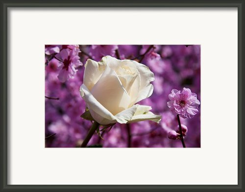 White Rose And Plum Blossoms Framed Print By Garry Gay