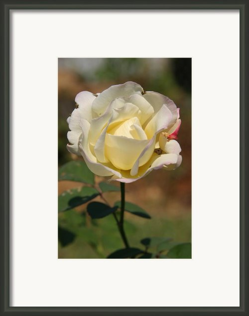 White Rose Framed Print By Donald Tusa