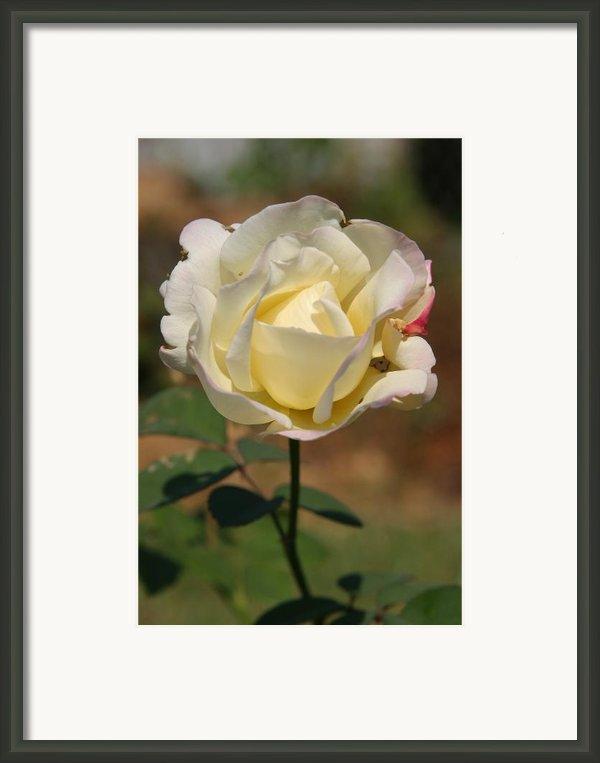 White Rose Framed Print By Donald Tusa
