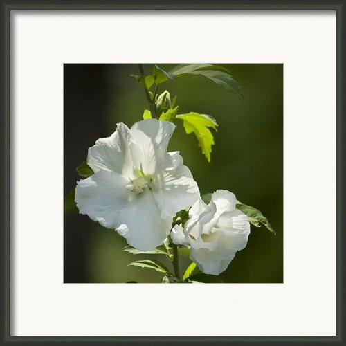 White Rose Of Sharon Squared Framed Print By Teresa Mucha