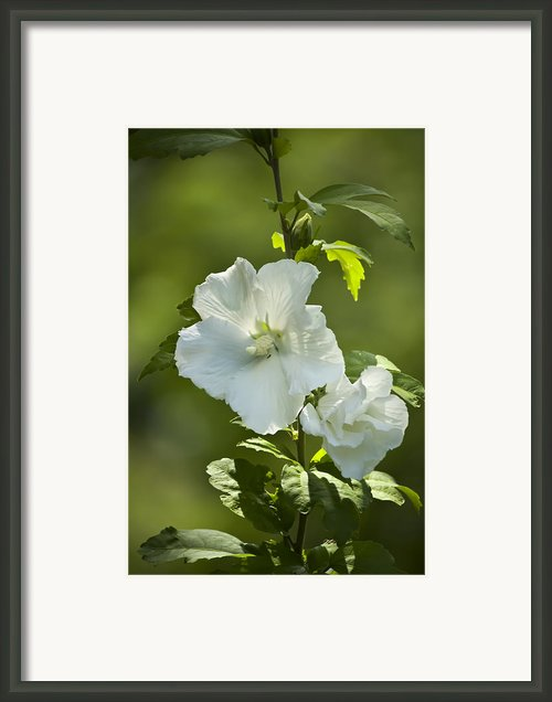 White Rose Of Sharon Framed Print By Teresa Mucha