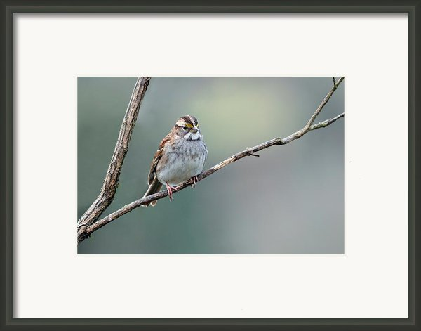 White Throated Sparrow Framed Print By Laura Mountainspring